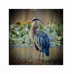 Latest in Avian Spring Fashion (George McHenry Photography) Tags: waterfowl heron greatblueheron southcarolinabirds southcarolina