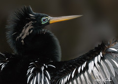 Anhinga_20A3203 (Alfred J. Lockwood Photography) Tags: alfredjlockwood nature wildlife bird anhinga male portrait closeup greencaywetlands florida overcast morning winter breedingplumage