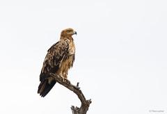 Tawny Eagle -8029 (Theo Locher) Tags: aquilarapax birds oiseaux roofarend savannearend tawnyeagle vogels vögel kruger krugernationalpark copyrighttheolocher