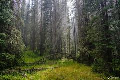 Subalpine Downpour (Matt Kemps) Tags: subalpine forest rain down pour downpour elevation sun sunshine colorado routt wilderness mountain mountains conifer