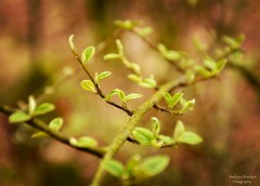 A journey of a Thousand Miles Begins with a Single Step (barbara_donders) Tags: natuur nature spring lente leaves blaadjes green groen branch tak forest bos bokeh macro mooi prachtig beautiful magisch magical dof
