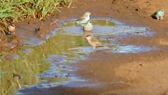 Common Waxbills (Estrilda astrid) and Blue Waxbills (Uraeginthus angolensis) bathing ... (berniedup) Tags: hluhluwe hluhluweimfolozi commonwaxbill estrildaastrid bluewaxbill uraeginthusangolensis taxonomy:binomial=estrildaastrid waxbill taxonomy:binomial=uraeginthusangolensis water bird