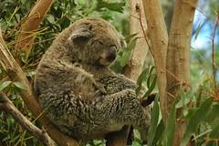 Koala (D70) Tags: asleep good part life koala tree koalas sleep 22 hours day animals eucalyptus leaves toxins low nutrition high fibrous matter large energy digest brunswicklower melbourne victoria australia