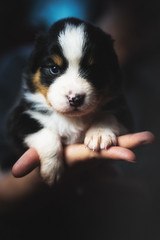 The Lord of the Dogs (der_peste (on/off)) Tags: bokeh dog canine hund aussie australianshepherd cute puppy puppies eye face dogface