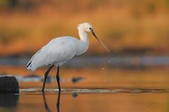 Spatola (mauro.santucci) Tags: spatola platalealeucorodia uccelli uccello bird avifauna natura birdwatching wildlife wild