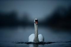 'Survivor' (Jonathan Casey) Tags: swan norfolk broads lake whitlingham nikon d850 400mm f28 vr