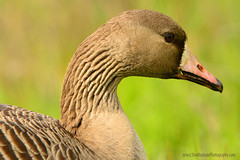 White-Fronted_Goose_02 (DonBantumPhotography.com) Tags: wildlife nature birds animals whitefrontedgoose donbantumphotographycom donbantumcom