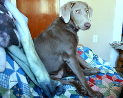"""""""Why yes! I'm quite comfortable, thank you very much!"""" (Judecat (ready for springtime)) Tags: dog canine puppy labradorretriever silverlabradorretriever pearl"""
