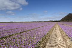 Krokus (Ernst-Jan de Vries) Tags: 1025faves krokus crocus purple flower bulbs field bloembollen paars landbouw agriculture landschap landscape groningen westerwolde lines tracks ndgradhard canon ef1740mmf4lusm 60d