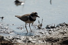 Little Ringed Plover (iamfisheye) Tags: 300mm vr february nikon f4 naturetrek india d500 xqd afs tc14iii pf greatrannofkutch 2019 gujarat raremammalsandbirdsofgujarat