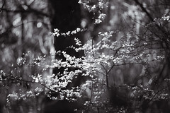(trevis_lu) Tags: photo blackwhite spring primavera bosco wood foglie leaves trees alberi nikondf nikkor70200f28