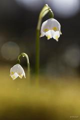 20190401_Beauregard_Baret_Drôme_9786re-BorderMaker (Bruno Durieu) Tags: nivéole vercors montagne plantes herbacées pérennes bulbes amaryllidaceae bois altitude printemps