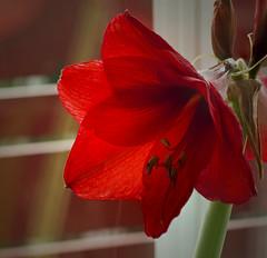 Amaryllis 2 (Svein K. Bertheussen) Tags: amaryllis flower blomst backlit motlys sandnes rogaland norway norge