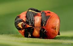 Tiny colorful Beetle, Chlamisus bolivianus (Ecuador Megadiverso) Tags: andreaskay beetle chlamisini chlamisusbolivianus chrysomelidae coleoptera cryptocephalinae ecuador focusstack