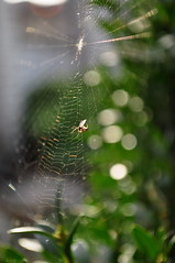 Spider and his victim. (ALEKSANDR RYBAK) Tags: изображения паук паутина макро крупный план боке блики листва природа солнечный свет день images spider web macro large plan bokeh glare foliage nature solar shine day