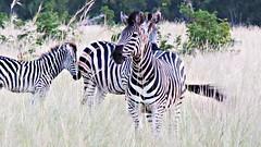 Botswana Zebra (h0n3yb33z) Tags: botswana animals wildlife zebra chobenationalpark africa