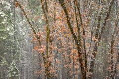 Black Oaks and Pines in Snow, Castle Lake (optimalfocusphotography) Tags: northerncalifornia oaktree usa landscape siskiyoucounty nature california trees telephoto oak tree mountshasta snow