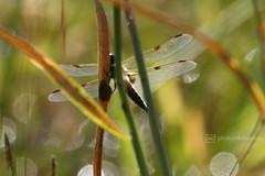 dragonfly (event-photos4dreams (www.photos4dreams.com)) Tags: gersprenz münster hessen germany naturschutz nabu naturschutzgebiet photos4dreams p4d photos4dreamz nature river bach flus susannahvictoriavergau susannahvvergau eventphotos4dreams canoneos5dmarkiii canoneos5dmark3