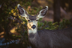 Late Afternoon (Noah L. Photography) Tags: mule deer animal wildlife mammal brown tan white trees forest bush grand canyon grandcanyonnationalpark national park beige arizona