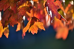 Fall Leaves In Full Swing (filmcrazy1014) Tags: nikon nature wildlife outdoor fall leave leaves tree treebranch falltree fallleaves orange bright brightcolors colorful color macro bokeh orangeleaves blue red redleaves art abstract closeup blur background magical light shadows sunset