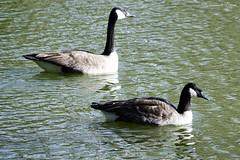 Bernache du Canada Branta canadensis - Canada Goose (Ezzo33) Tags: bernacheducanada brantacanadensis canadagoose france gironde nouvelleaquitaine bordeaux ezzo33 nammour ezzat sony rx10m3 parc jardin oiseau oiseaux bird birds specanimal
