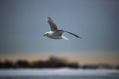 """""""The bad news is time flies. The good news is you're the pilot."""" (green mind art) Tags: canon fly bird photography landscape seagull outdoor nature sky lake blue photographer canada toronto tehran peace lonely solo"""