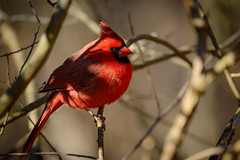 Handsome Fella (Eric Tischler) Tags: male cardinal ohio almost spring bird nature red