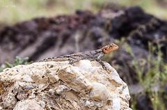 RED-HEADED AGAMA 2 (Nigel Bewley) Tags: tanzania africa wildlife nature wildlifephotography nigelbewley photologo appicoftheweek safari gamedrive redheadedagama agamaagama march march2019 lizard