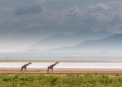 Giraffes on the move (natelukefahr) Tags: africa giraffe giraffes lakemanyara lakemanyaranationalpark landscape mountains tanzania tanzaniawildlife wildlife