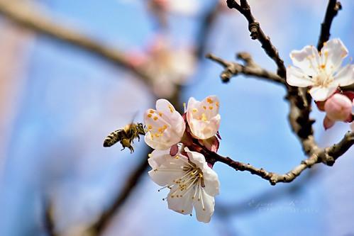 bee spring flowers