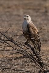 Long-legged Buzzard (iamfisheye) Tags: 300mm naturetrek d500 xqd february greatrannofkutch vr bannigrasslands f4 india longleggedbuzzard afs tc14iii 2019 nikon pf raremammalsandbirdsofgujarat gujarat