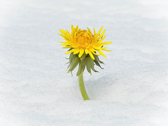 FlickrFriday: Ready for better days (Valérie C) Tags: yellow white flower flickrfriday spring snow dandelion bepositive