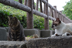 Brown Tabby & Pointed Cats (Flexible Negativity) Tags: 猫 cat 貓 meow ねこ caturday nuko k70 pentax browntabby pointedcat