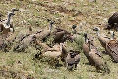 Lappet-faced & White-backed Vultures (npaprock) Tags: torgostracheliotos gypsafricanus gyps torgos lappetfacedvulture vulture whitebackedvulture southernnations ethiopia africa bird raptor scavenger