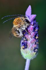 Eucera sp (jotneb) Tags: natureza animais insectos vidaselvagem arlivre