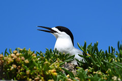White-fronted Tern (bevanwalker) Tags: 300mmf28 lens d750 nikon rock nature feathers blackwhite iceplant cliffs time summer photography outdoor native wildlife pose portrait moment beak sea closeup