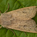 2186-_W4A9298 Powdered Quaker (Orthosia gracilis)
