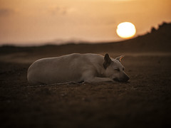 Dog sunset (Grafic Oz) Tags: dog sunset atardecer amazing friend orange perro fiel desert desierto guajira bahiahondita chien كلب txakur köpek