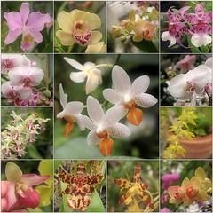 January Wreath (Tölgyesi Kata) Tags: orchid orchidea withcanonpowershota620 botanikuskert botanicalgarden greenhouse üvegház füvészkert flower budapest macro blossom fleur virág winter tél mosaic mozaik collage hand kéz