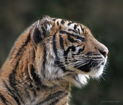 """Rakan"" 1½ years (suzneill) Tags: sdzsafaripark sandiegozoosafaripark rakan sumatrantiger endangeredtiger zoosofnorthamerica zoolife fortheloveofzoos aardvarktozyzzyva nationalgeographicanimals zoos zoosoftheworld focusingonthe sandiegozooandsafaripark californiazoos zoophotos animalsinzoosparks zoosaroundtheworld flickrbigcats bigcatsfromaroundtheworld animalplanet justnature naturesgallery coth thesunshinegroup specanimals alittlebeauty coth5"