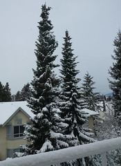 Winter is really here (D70) Tags: burnaby britishcolumbia canada winter snow trees spruce