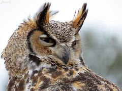 Oliver Great Horned Owl CRC IMG_4683 (Jennz World) Tags: ©jennifermlivick canadianraptorconservancy vittoria ontario canada greathornedowl owl raptor