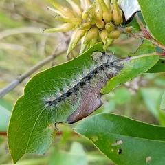 Hyphantria cunea (Gary Walton) Tags: hyphantriacunea fallwebworm caterpillar graycaterpillar willow