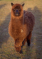 Alpaca 2 (Phil*ippe) Tags: animals farm alpaca