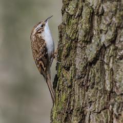 Treecreeper ( Certhia familiaris ) (Dale Ayres) Tags: treecreeper certhia familiaris bird nature wildlife wood tree