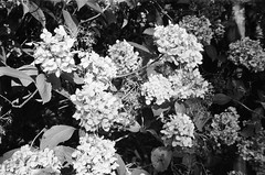 A plant in black-and-white (photo 2) (Matthew Paul Argall) Tags: beirettevsn manualfocus 35mmfilm blackandwhite blackandwhitefilm kentmere100 100isofilm flower flowers plant plants