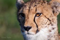 Cheetah Portrait (Bondy Taylor) Tags: africa animal bokeh cheetah fir hunting outdoor wildlife nature wild