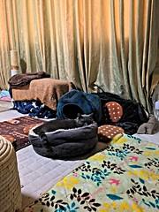 Yuba in his Cat Bed (sjrankin) Tags: 20march2019 edited kitahiroshima hokkaido hdr yuba animal cat catbed floor livingroom mat warmingmat warmingdisc scratchingpost curtains window