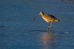 Whimbrel with tasty snack. (j1985w) Tags: california gazoscreekbeach bird ocean water beach whimbrel