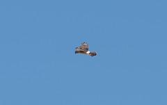 Northern Harrier (Laura Erickson) Tags: saxzimbog stlouiscounty northernharrier accipitridae accipitriformes birds species places minnesota circuscyaneus